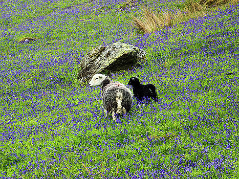 Herdwicks among the bluebells by Susan Tinsley