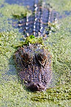Carol Montoya - Here Is Looking At You Said The Alligator
