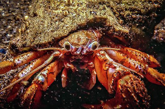 Hermit Crab by Gary Shepard