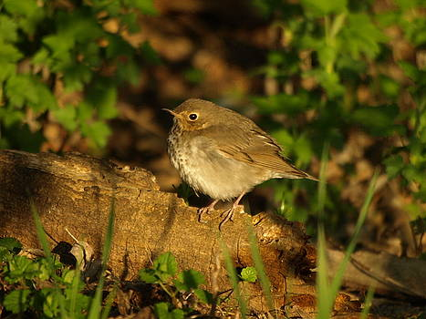 Hermit Thrush Shadows and Light by James Peterson