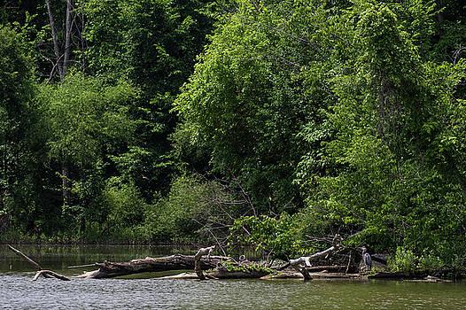 Heron at the lake's edge by Dan Ferrin