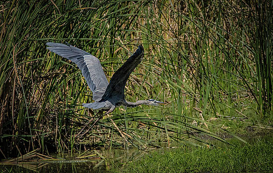 Heron Blue by Ray Congrove