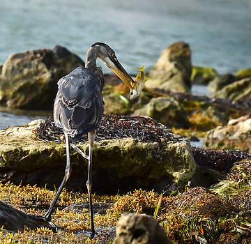 Heron Breakfast by Kerry Hauser