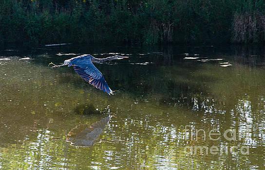 Heron Flight by Laurel Best