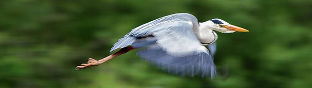 Heron Flying Wings Down by Scott Lyons