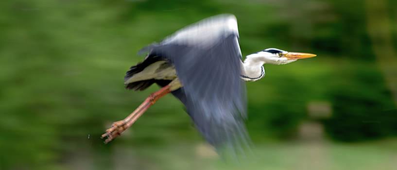 Heron Flying Wings Up by Scott Lyons