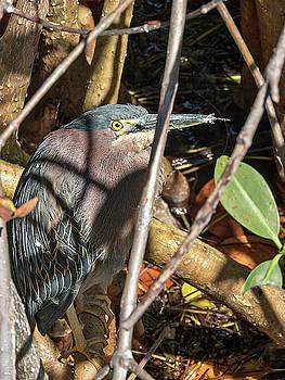 Heron Hiding in a Mangrove by Bob Slitzan