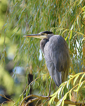 Heron in a Willow by Keith Boone