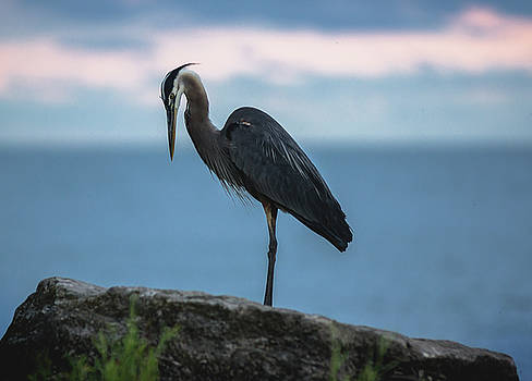 Heron in Colchester by Cale Best