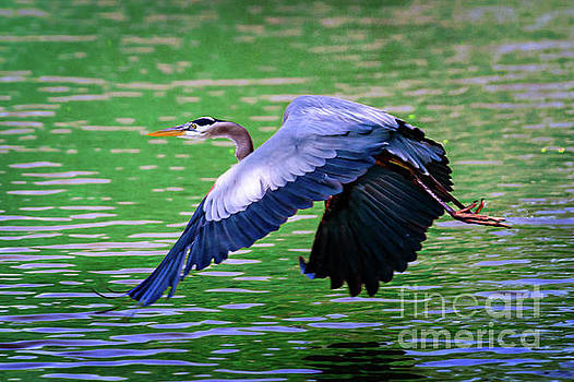 Heron in Flight at Honor Heights Park by Tamyra Ayles