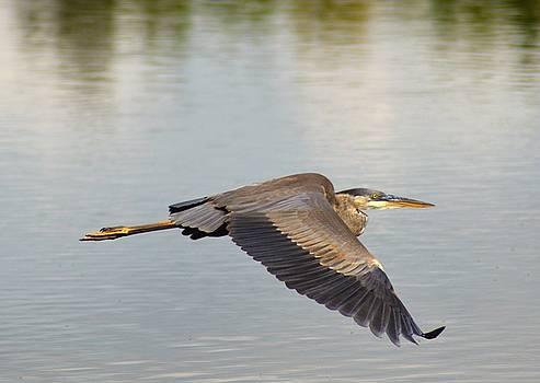 Kathy Kelly - Heron in Flight