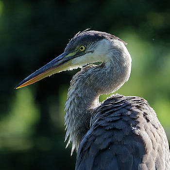 Heron in the warm afternoon sunlight by Doris Potter