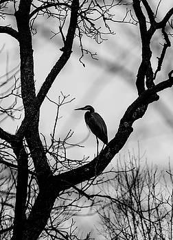 Heron in Tree by Paul Ross