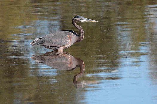 Heron by John Moyer