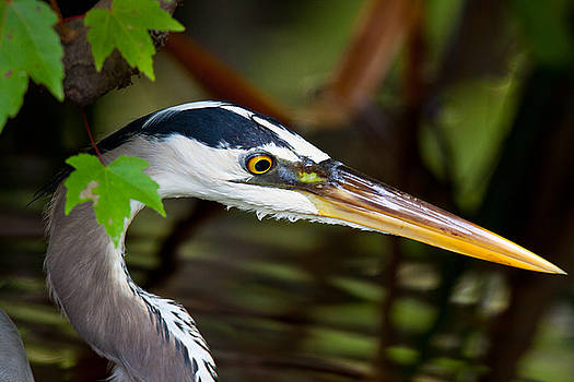 Heron by Larry Hughes