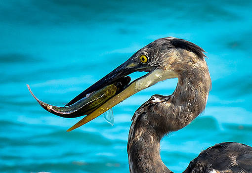 Heron Lunch by Kerry Hauser
