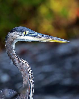 Heron Portrait by Alan Raasch
