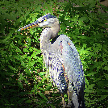 Blue Heron with an Attitude by Kathy Kelly