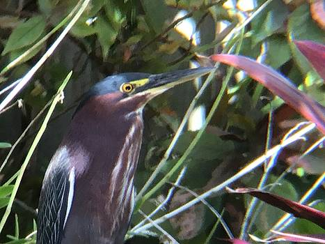 Heron with Yellow Eyes by Val Oconnor