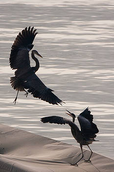 Herons of Lake Como by Neil Buchan-Grant