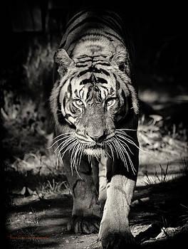 Hey Tiger by Scott Fracasso