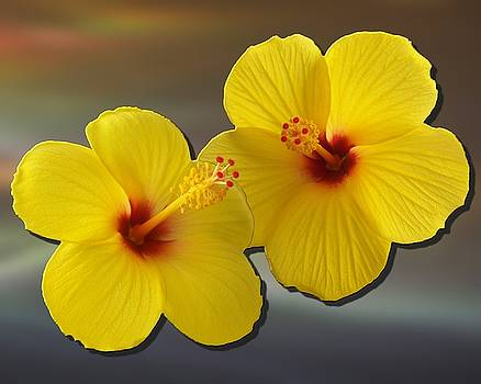 Hibiscus 04 by Dave Casey