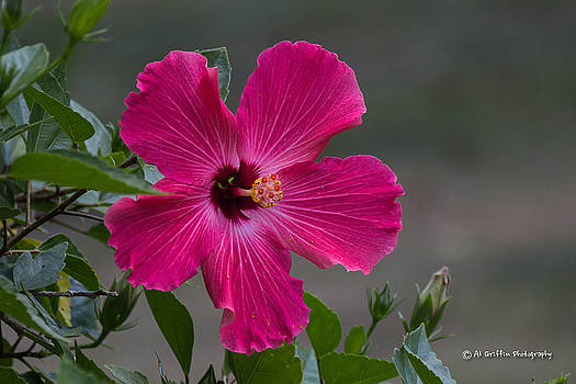 Hibiscus by Al Griffin