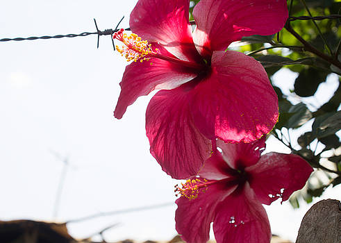 Marvin - Hibiscus and Barbs