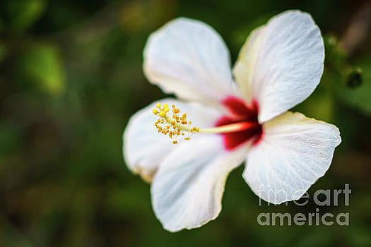 Hibiscus Arnottianus Crossed with Hibiscus Rosa Sinensis Genoves Park Cadiz Spain by Pablo Avanzini