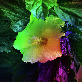 Kathy Kelly - Hibiscus at Night