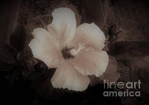 Hibiscus Flower by Amanda Currier