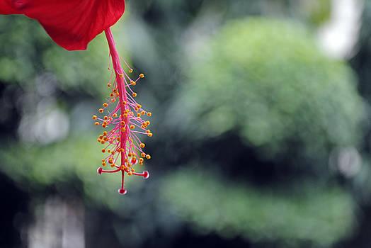 Sumit Mehndiratta - Hibiscus flower