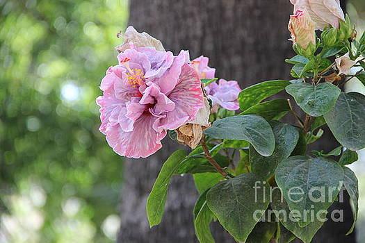 Hibiscus Flowers by Jackie Mestrom