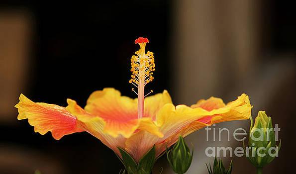 Hibiscus Fountain by John Eide