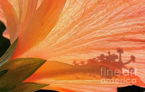 Hibiscus by Glennis Siverson