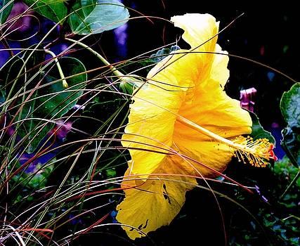 Hibiscus Gold  by Sandra Sengstock-Miller
