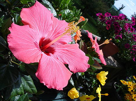 Hibiscus Heaven by Pat Gerace