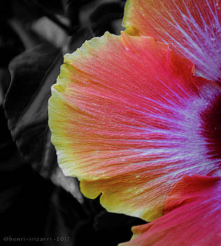 Hibiscus by Henri Irizarri