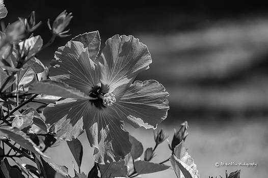 Hibiscus in Monochrome by Al Griffin