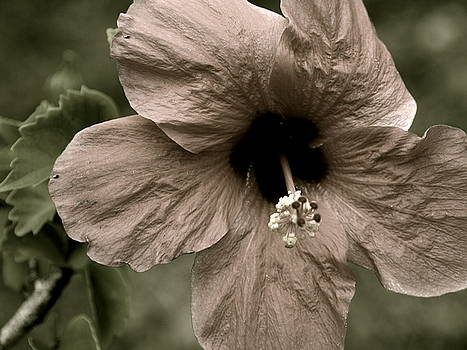 LeeAnn Alexander - Hibiscus