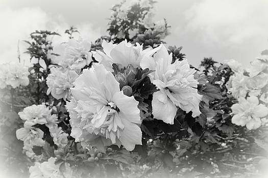 Hibiscus Mutabilis - BW by Beth Vincent