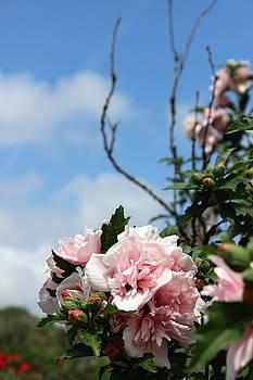 Hibiscus Mutabilis II by Beth Vincent