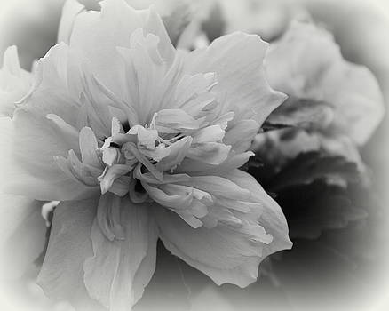 Hibiscus Mutabilis II - BW by Beth Vincent