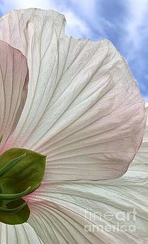 Hibiscus Petals by Glennis Siverson