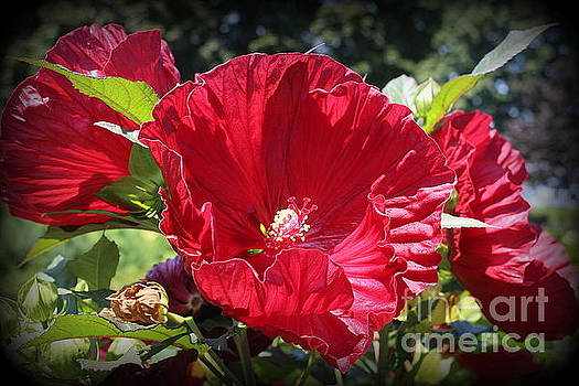Hibiscus Radiant in Red by Dora Sofia Caputo Photographic Design and Fine Art