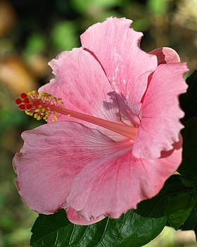 Hibiscus Shadow  by Kim