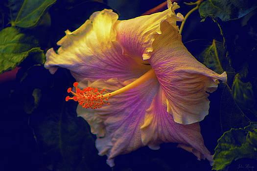 Hibiscus Splendor by John Rivera