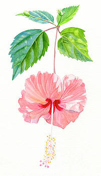 Hibiscus Sprinkle Rain, Rosa Sinensis by Sharon Freeman