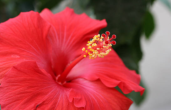 Hibiscus by Steve Augustin