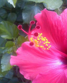 Hibiscus by William Braddock
